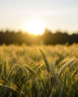Wheat Growing For Welders Dog Beer